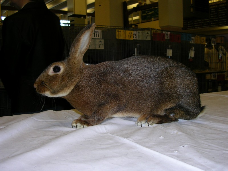 Silver Brown Rabbit